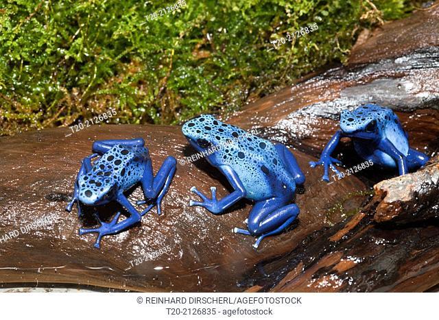 Blue Poison Dart Frog, Dendrobates tinctorius azureus, Suriname