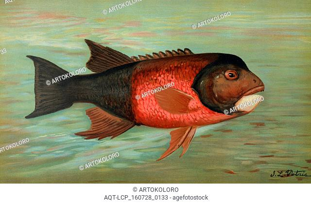 The Sacramento Pike, Squaw's-fish or Yellow belly, Ptychocheilus oregonensis, Harris, William C. (William Charles), 1830-1905, (Author), Petrie, J. L