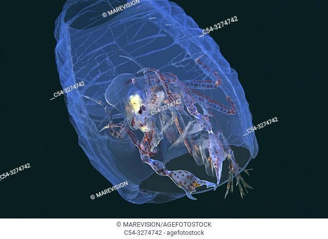 Deep sea. Arthropoda. Crustacean. Pelagic Amphipod. Pram Bug Amphipod (Phronima sedentaria) within a salp. Eastern Atlantic. Galicia. Spain. Europe