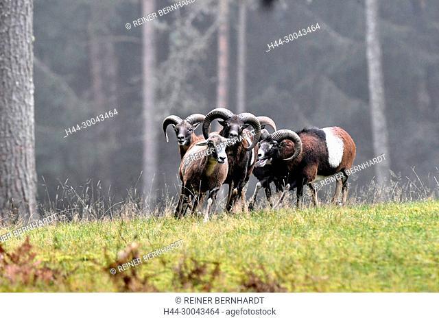 Mountain sheep, rut of the Mufflons, ruttish Arieses, horn-rimmed bearers, horns, muzzle spot, Mufflon, Mufflonbrunft, Mufflons, Mufflons in autumn