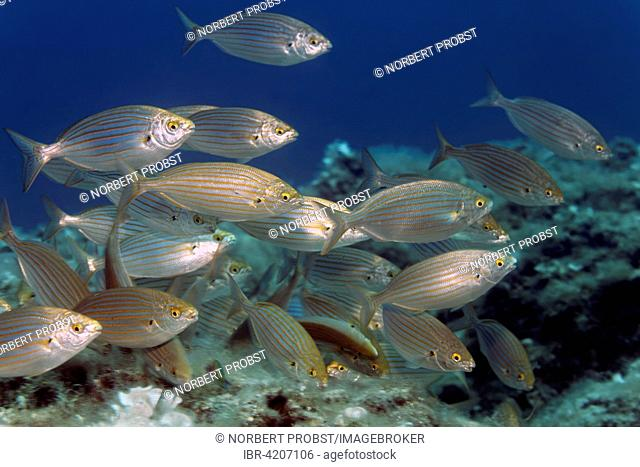 Salema porgy (Sarpa salpa), Corfu, Ionian Islands, Ionian Sea, Mediterranean Sea, Greece