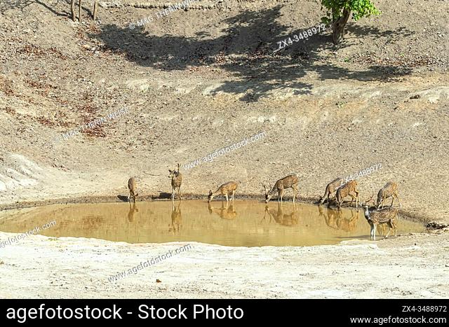 Chital or Spotted deer (Axis axis) drinking in a pond, Bandhavgarh National Park, Madhya Pradesh, India