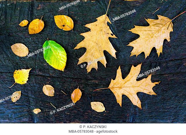 Autumn leaves on wooden ground of birch (Betula), beech (Fagus) and red oak (Quercus rubra), La Hoegne, near the moor High Fens, Hautes Fagnes, autumn, Ardennes