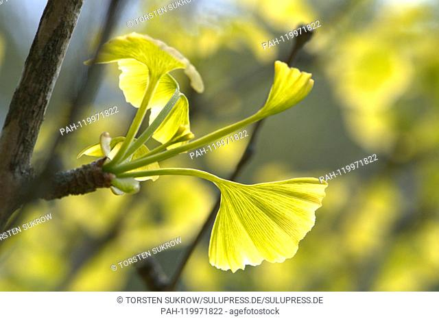 05.05.2019, Schleswig-Holstein, Schleswig: Close-up of some freshly sprouting ginkgo leaves on a ginkgo tree in spring. Class: Ginkgo Plants (Ginkgoopsida)