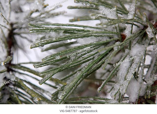 Needles on a pine tree covered in ice after an ice storm in Toronto, Ontario, Canada. - TORONTO, ONTARIO, CANADA, 24/03/2016