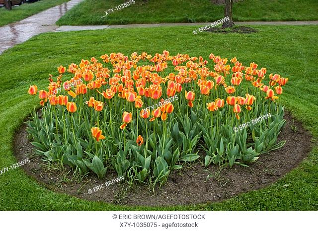 Many tulips are planted in a circle in Portland, Maine