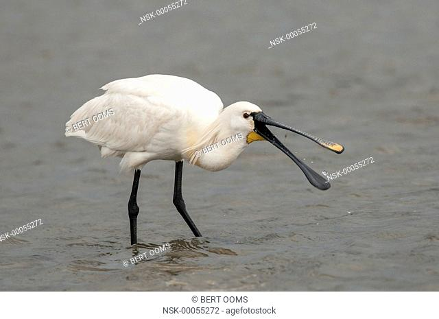 Eurasian Spoonbill (Platalea leucorodia) foraging and catching shrimp (Caridea sp.) in the shallow water of the Wadden Sea, The Netherlands, Friesland, Ameland