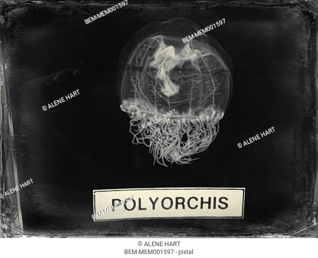 Labeled polyorchis specimen on display