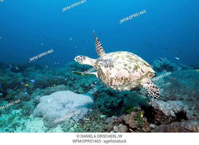 Hawksbill Turtle, Eretmochelys imbricata, Candidasa, Bali, Indonesia
