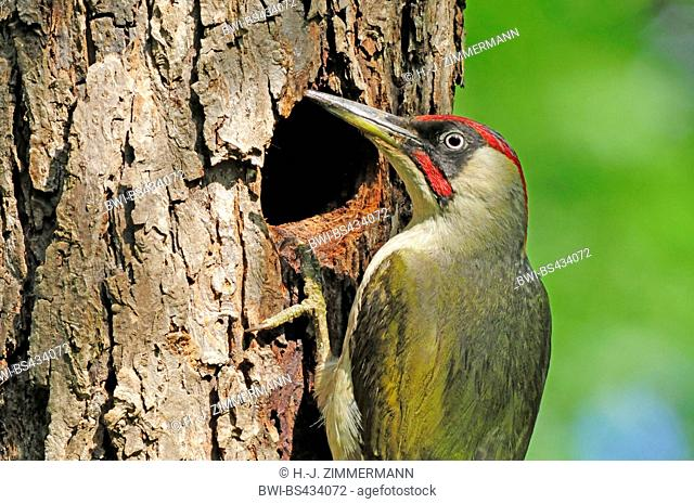 green woodpecker (Picus viridis), male at breeding cave, Germany, Rhineland-Palatinate