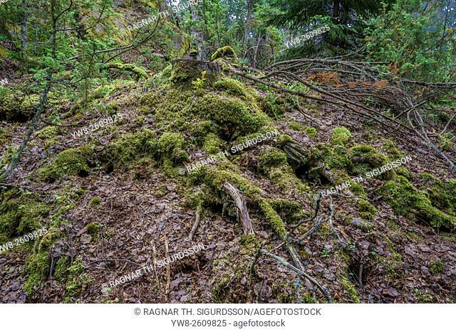 Forest floor, Hogland Island, Finland