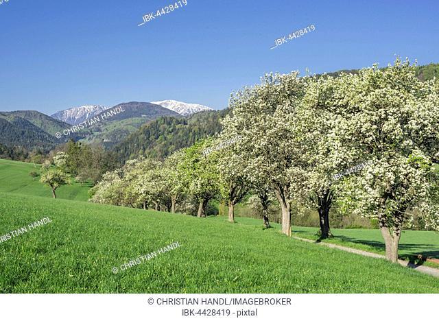 Row of flowering pear trees, Schneeberg, Miesenbach, Lower Austria, Austria