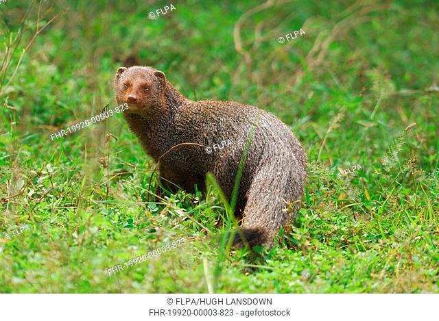 Ruddy Mongoose Herpestes smithii adult, standing, Yala West N P , Sri Lanka, february