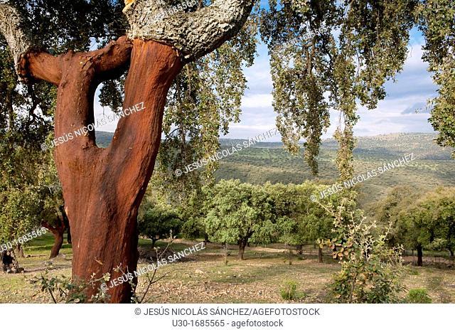 Landscape in Sierra de las Villuercas with cork oak Quercus suber  Cáceres province  Extremadura  Spain