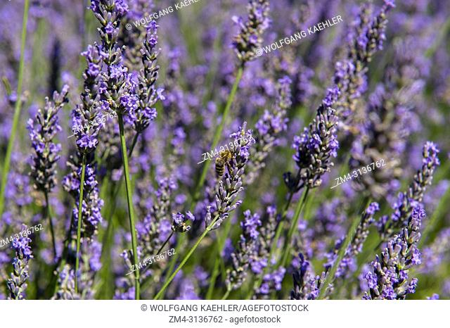 Honey bees on the lavender flowers in the display garden at the Le Chateau du Bois Lavender Museum near Gordes in the Luberon