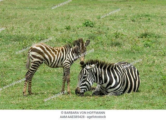 Burchell's Zebra and foal in plains, Ngorongoro Crater, Tanzania