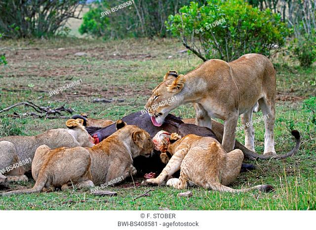 lion (Panthera leo), pack at a cadaver, Kenya, Masai Mara National Park