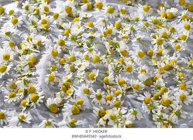 scented mayweed, german chamomile, german mayweed (Matricaria chamomilla, Matricaria recutita), flowers are dried, Germany