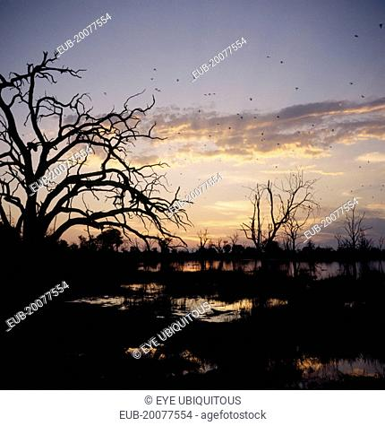Trees in silhouette at sunset with Pratincoles fyling above water