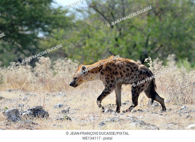 Spotted Hyena (Crocuta crocuta), walking on stony ground, Etosha National Park, Namibia, Africa