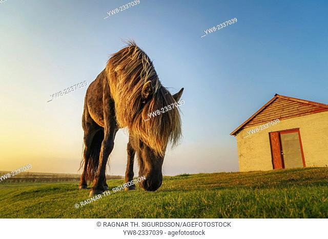 The Icelandic horse is a breed developed in Iceland that is long-lived and hardy. The Icelandic horse displays two gaits in addition to the typical walk, trot