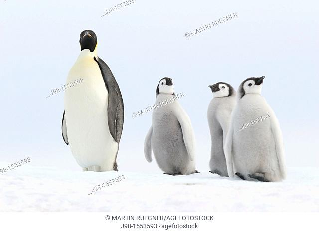 Emperor penguin Aptenodytes forsteri, chicks and adult  Location: Snow Hill Island, Weddell Sea, Antarctica