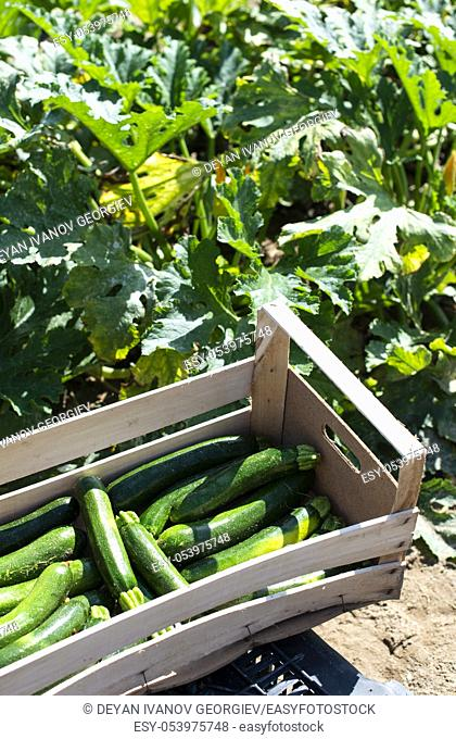Picking zucchini in industrial farm. Wooden crates with zucchini on the field. Sunny day