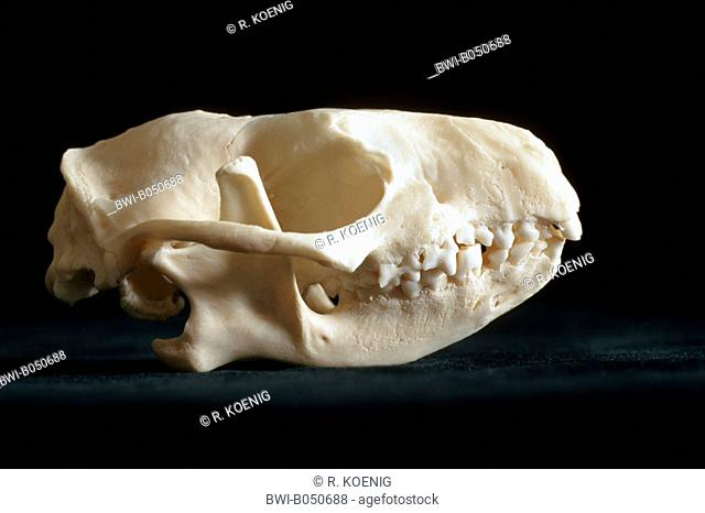 Western hedgehog, European hedgehog (Erinaceus europaeus), skull