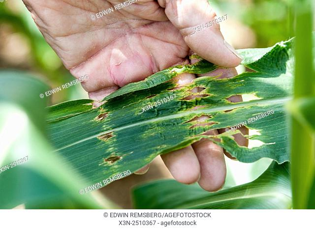 Hands holding leaves that have been damaged by hail