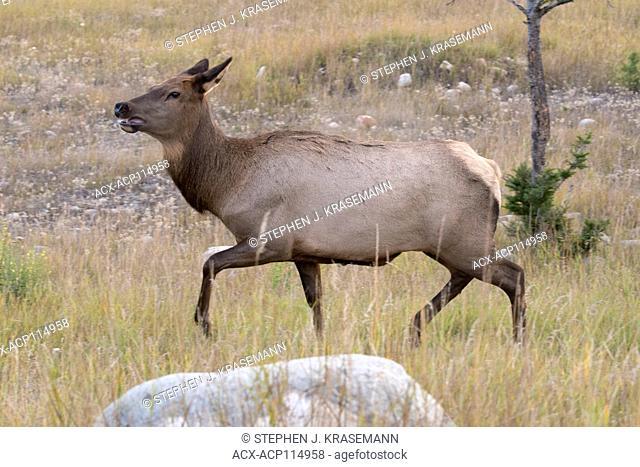 Cow elk walking across grassy field. (Cervus canadensis). Jasper National Park, Alberta, Canada