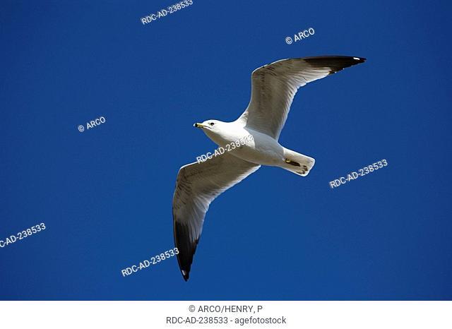Ring-billed Gull, Montreal, Canada / Larus delawarensis