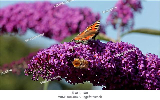 HONEY BEE & SMALL TORTOISESHELL BUTTERFLY (AGLAIS URTICAE); BUDDLEIA DAVIDII BUSH IN GARDEN; 02/09/2012