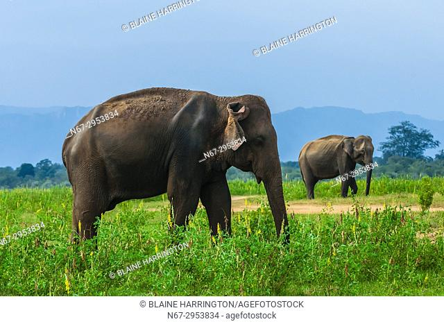 Elephants, Udawalawe National Park, Sri Lanka. Udawalawe is an important habitat for water birds and Sri Lankan elephants