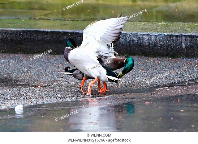 A pair of male ducks having a fight to find out which mallard is well hard. The beaky blinders were fighting it out on Downing Street