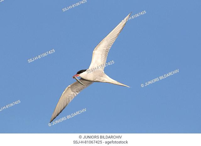 Arctic Tern (Sterna paradisaea). Adult in flight with fish prey in its beak. Germany