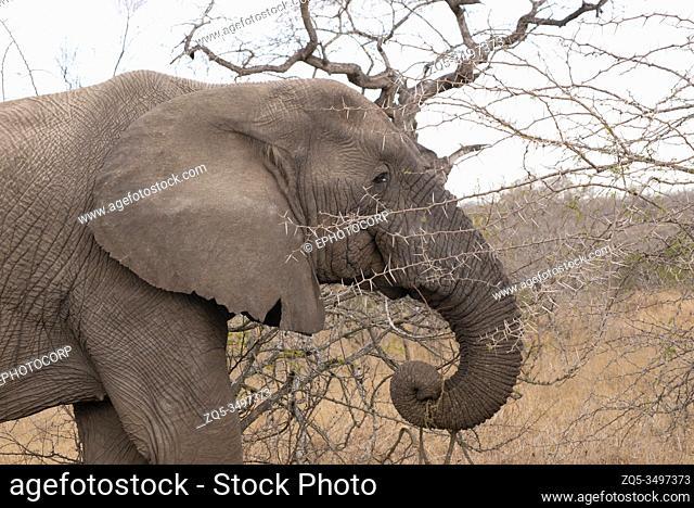 African elephant, Loxodonta africana Kruger National Park, South Africa