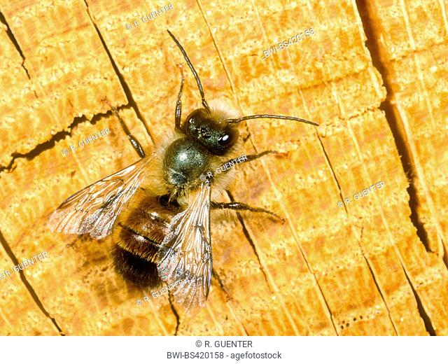 red mason bee (Osmia rufa, Osmia bicornis), male, Germany