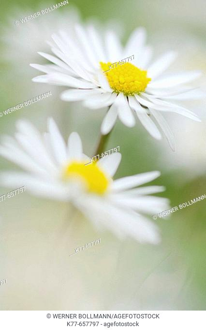 Daisy (Bellis perennis). Westray, Orkney Islands, Scotland