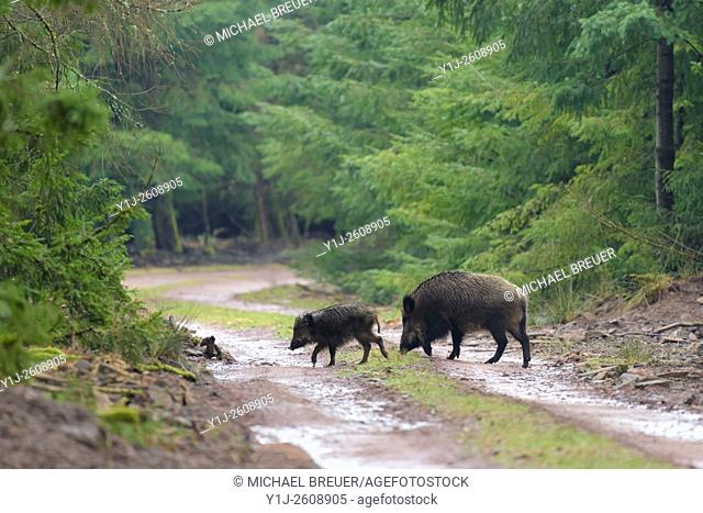 Wild boars (Sus scrofa), Female with young, Spessart, Germany, Europe