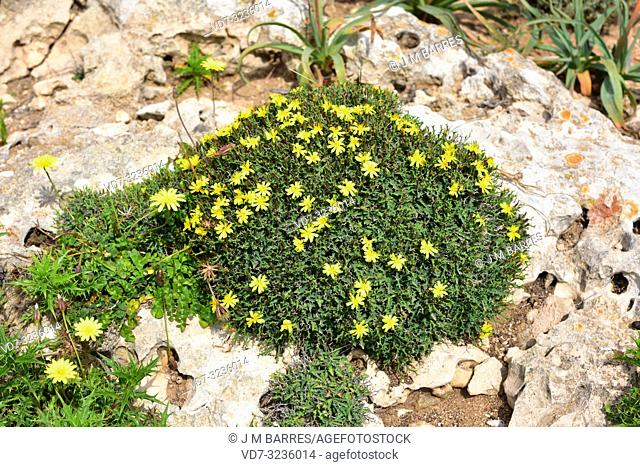 Socarrell (Launaea cervicornis) is a spiny shrub endemic to Mallorca and Menorca coasts. This photo was taken in Cap Cavalleria, Menorca, Balearic Islands
