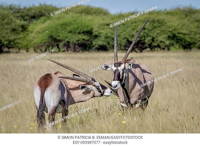 Two Gemsbok bonding in the grass in the Central Kalahari, Botswana