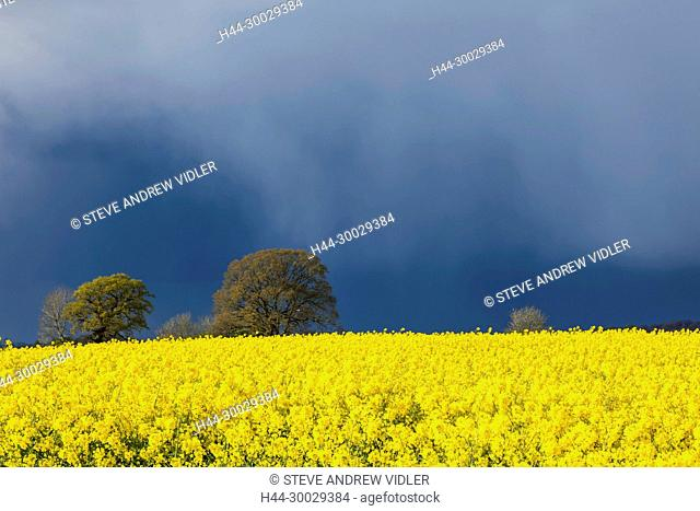 England, Cotswolds, Gloucestershire, Rape Fields and Storm Clouds near Upper Slaughter