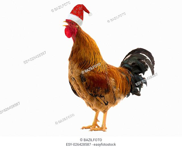 red cap of Santa on a rooster, is isolated on a white background