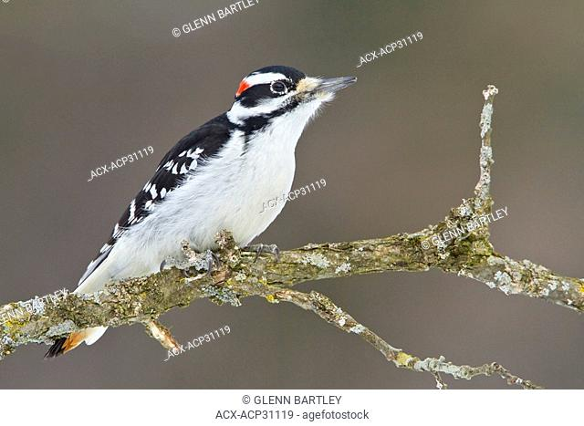 Male Hairy Woodpecker Picoides villosus perched on a branch