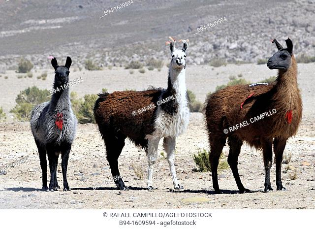 Lama is the modern genus name for two South American camelids, the wild guanaco and the domesticated llama. Before the Spanish conquest of the Americas