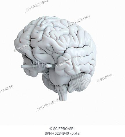 Psychology Wisdom Brain Stock Photos And Images Agefotostock