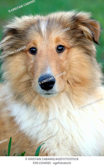 Portrait of male American Collie cub sitting in the grass, Hanover, Lower Saxonia, Germany, Europe