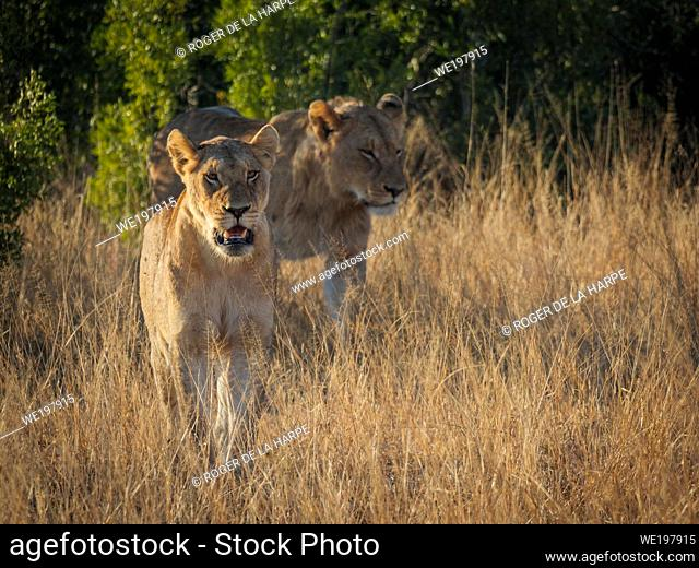 A gorgeous couple of lion (Panthera leo) walk out of the African bush into tawny grasslands. Mpumalanga. South Africa