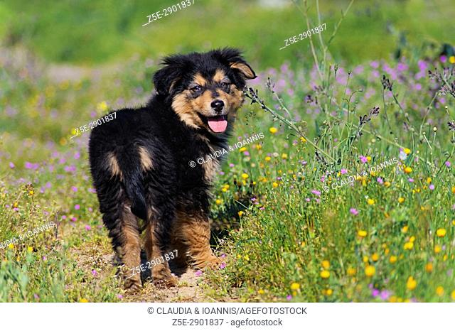 Rear view of a puppy standing in a meadow and looking back at camera
