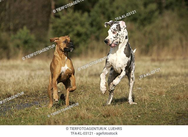 Great Dane and German Boxer